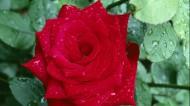 红色玫瑰花图片(8张)