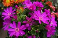 路边娇艳的花朵图片(13张)
