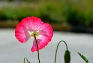 虞美人花卉图片(10张)