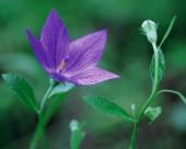 迷人的紫色野花图片(19张)
