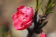 红粉桃花图片(15张)