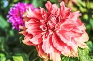 各种颜色的大丽花图片(10张)