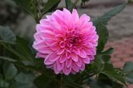 粉色和紫色大丽花图片(7张)