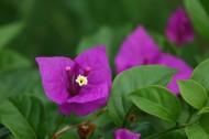 紫色的三角梅图片(15张)