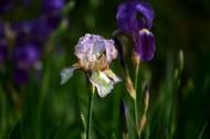 紫色马兰花图片(10张)