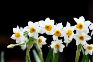 水仙花图片(13张)