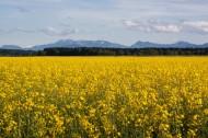 一片金黄色的油菜花田图片(16张)