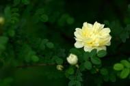 盛开的月季花图片(20张)