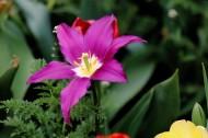 紫色郁金香图片(9张)