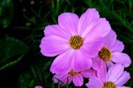 淡紫色波斯菊图片(9张)