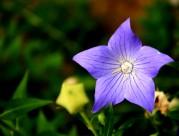 紫色神秘的桔梗花图片(9张)