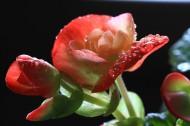 四季海棠图片(14张)