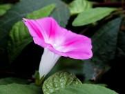 粉色和紫色喇叭花图片(6张)