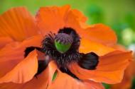 红色罂粟花图片(10张)