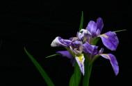 鸢尾花图片(16张)