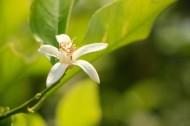 柠檬花图片(7张)