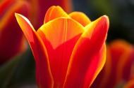 大红色郁金香图片(10张)