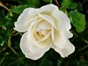 白色玫瑰图片(16张)