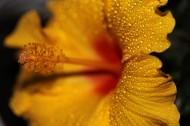 木槿花特写图片(10张)