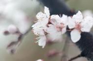 淡粉色樱花图片(13张)