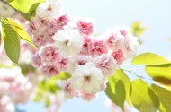 树枝上盛开的樱花图片(15张)