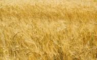 麦穗麦田图片(20张)