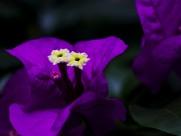 深紫色三角梅图片(6张)
