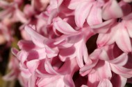 唯美粉色风信子摄影图片(16张)
