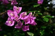 三角梅花卉图片(11张)