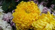 各种颜色的秋季菊花图片(13张)