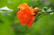 红色石榴花图片(20张)