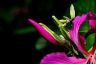 紫荆花图片(24张)