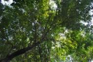 铁刀木植物图片(3张)