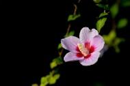木槿花图片(12张)