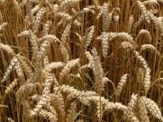 成熟的小麦图片(16张)