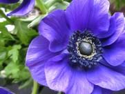 秀美的银莲花图片(11张)
