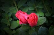 红色和淡粉色的杜鹃花图片(9张)