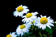白色雏菊图片(11张)