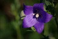 紫桔梗花图片(11张)