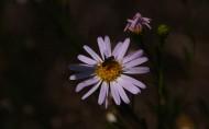 紫色小雏菊图片(9张)