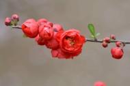 贴梗海棠花图片(7张)