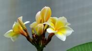黄色鸡蛋花图片(18张)
