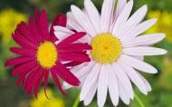 唯美的雏菊图片(10张)