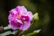 粉色木芙蓉图片(15张)