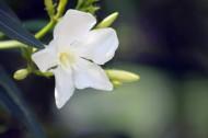 白色夹竹桃图片(5张)