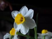 白色水仙花图片(6张)