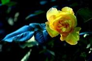 美丽的月季花图片(15张)