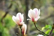 盛开的玉兰花图片(8张)