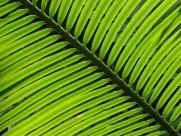 绿油油的棕榈叶图片(12张)