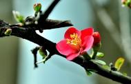 海棠花图片(11张)